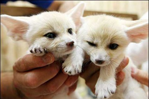 Adorable male and female Fennec Foxes for sale .please contact u