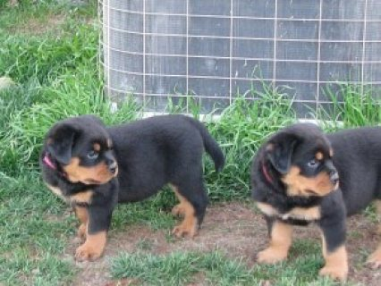 Cute Labrador retriever Puppies Available for sale ...