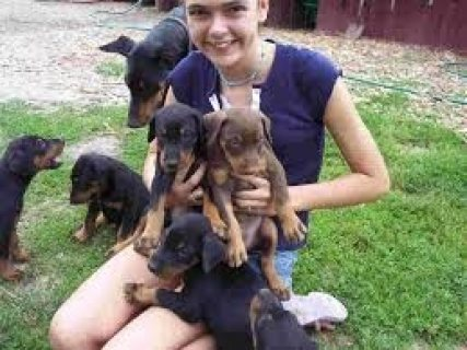 male and female Doberman Pinscher Puppies Available for sale