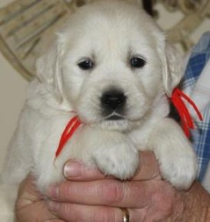 Sweet Female Golden Retriever Puppies For sale