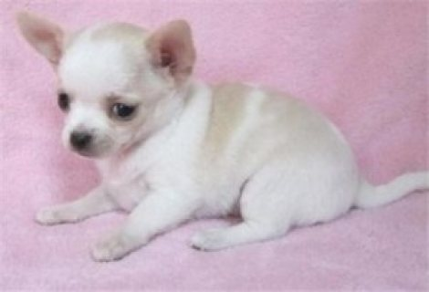 Two chihuahua puppies for adoption .