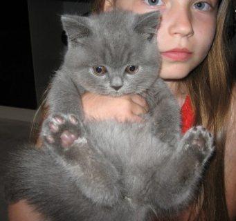 Great  British Short Hair Kittens for Adoption