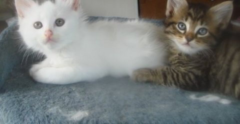TURKISH VAN KITTENS FOR GOOD HOME
