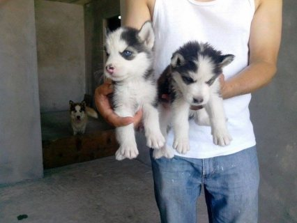 Siberian Husky puppies available and ready to go