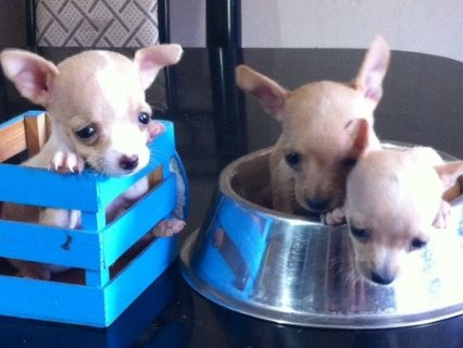 Chihuahuas pouch 2 females and a male very nice 2 months