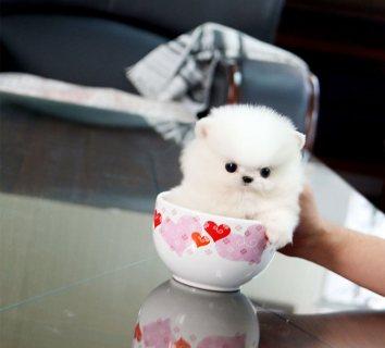 miniature Pomeranian  vaccinated PUPPIES