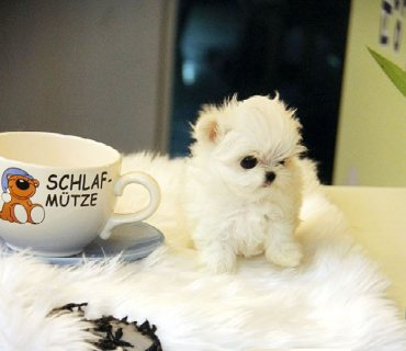 male and female Maltese puppies ready to go
