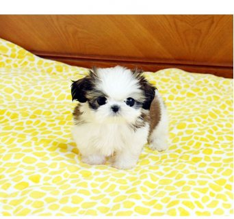 lovely male and female Shih tzu puppie