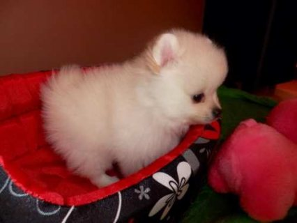 10 week old Pomeranian puppies for adoption