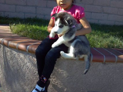 siberain husky puppies