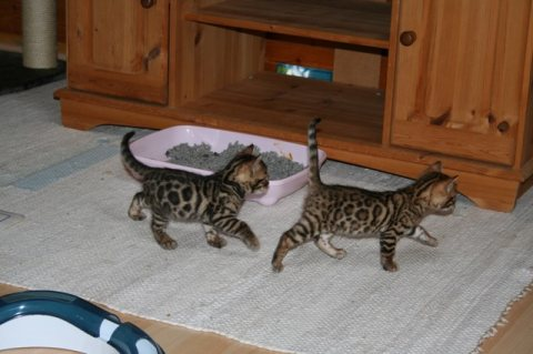 Cute Bengal Hittens Available