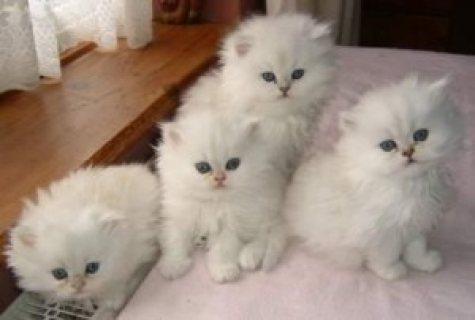 صور Blue Eyed White Persian Kittens for adoption 1