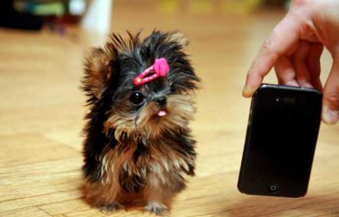 Lovely Yorkie puppies for adoption.