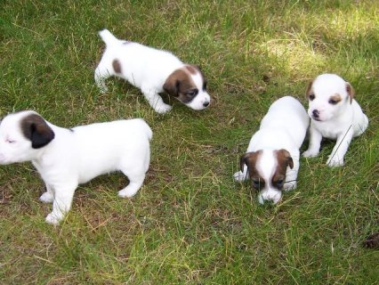 صور Healthy, adorable Jack Russell puppies available. 1