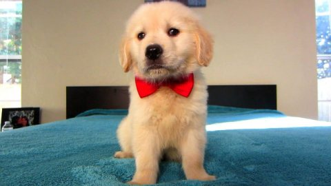 Purebred Super cute Golden Retrievers Puppies for Adoption