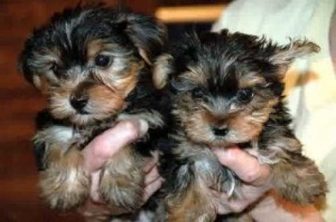 Cute Female Yorkshire terrier Puppies Available(estertorres111>@
