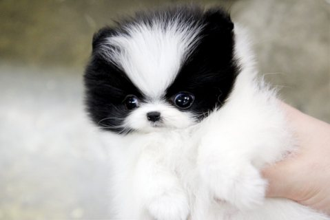 Teacup Pomeranian Puppies)