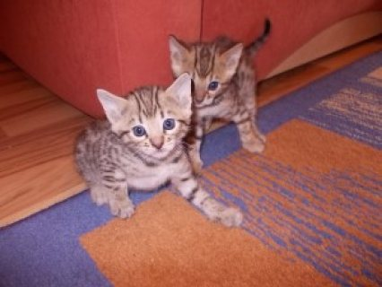 Adorable Bengal kittens for sale.....