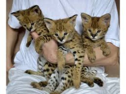 Males and females Serval Kittens ready for sale