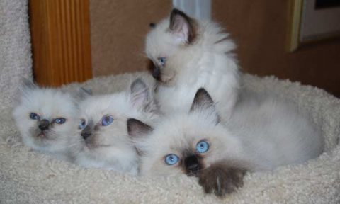 Ragdoll Males and Females kittens available for sale..