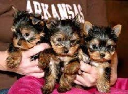 صور Quality Tiny Teacup Yorkie Puppies for sale 1