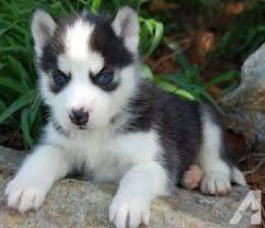 Super adorable Siberian Husky puppies.