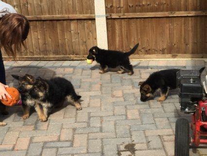 Pedigree German Shepherd puppies.