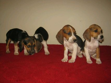 Four stunning pure bred foot beagles