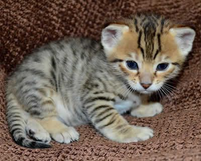 We have beautiful Savannah kittens available for sale