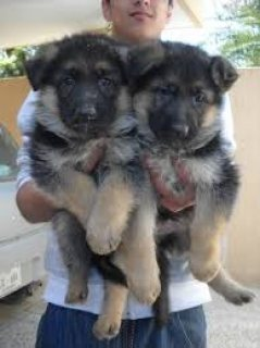 Cute Male and female German Shepherd puppies for sale.