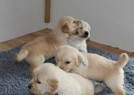 Top Classic Golden Retriever Puppies Available for sale