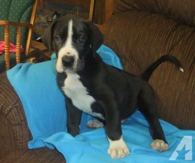 Attractive male and female Great Dane Puppies for sale