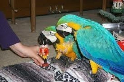 Beautiful male and female Blue and Gold Macaws for sale