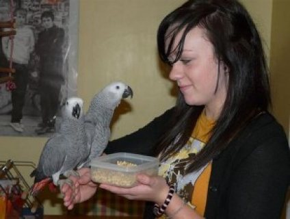 Talking African Gray Parrots for sale....