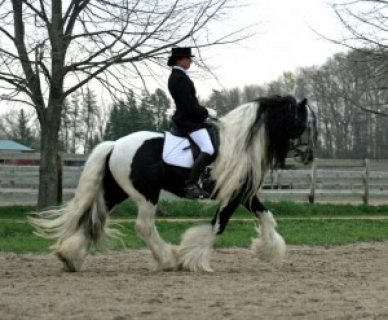 GYPSY VANNER GELDING HORSE FOR SALE.CONTACT US NOW FOR MORE DETA