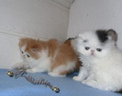 LOVELY PERSIAN KITTENS FOR ADOPTION