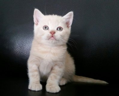 British Short hair kittens Avialable