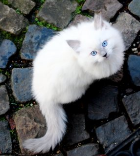 RAGDOLL KITTENS  AVIALABLE