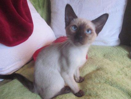 wonderful Siamese kittens