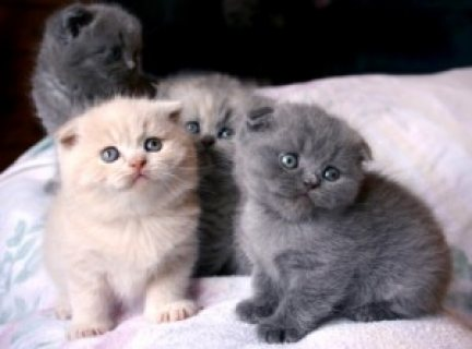 صور     Pedigree Scottish Fold Kittens 1