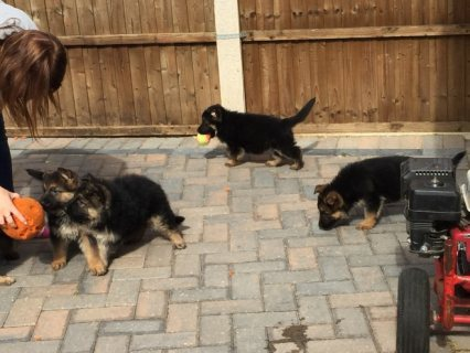 Pedigree German Shepherd puppies good for sale