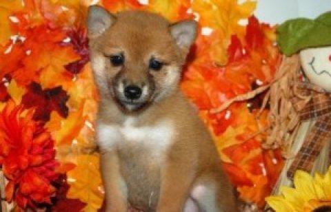 Romantic Shiba Inu Puppies READY FOR ADOPTION