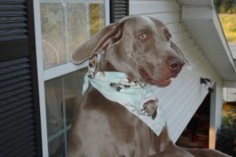 Weimaraner puppies for sale (male and female)