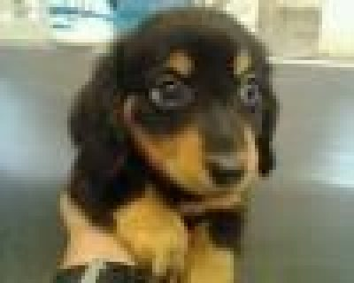 صور Dachshund males and females for sale 1
