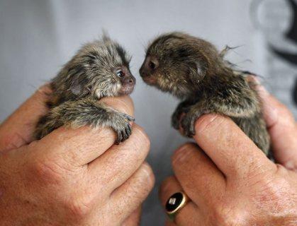 Wonderful Twin Marmoset Monkeys