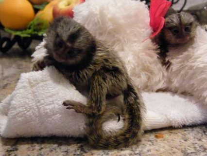 Hand raised Male and Female marmoset  baby monkeys