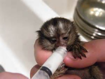adorable hand raised Male and Female Marmoset baby monkeys raise