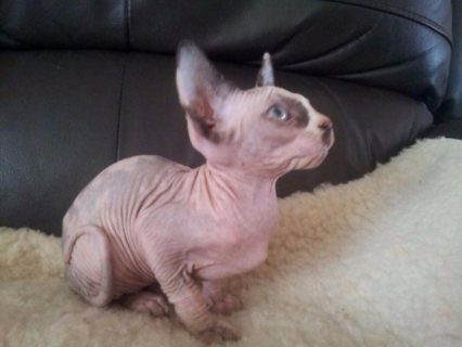 Well Trained Sphynx Kittens Registered