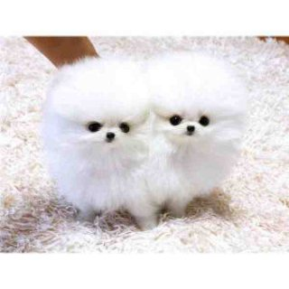 Two male and female Pomeranian puppies.