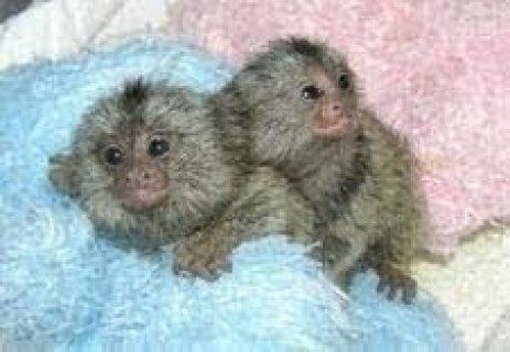 Twins Pygmy Marmosets Monkeys for adoption